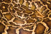 Royal python (Python regius) — Stock Photo