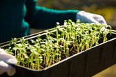 Young sprouts in a container — Stock Photo