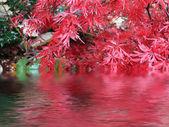 Japanese maple — Stock Photo