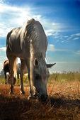Koně a pole zblízka — Stock fotografie