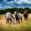 Horses on a summer pasture — Stock Photo #13720023