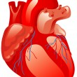 Human heart — Stock Vector
