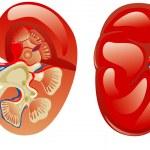 Постер, плакат: Human kidney