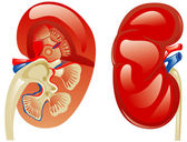 Human kidney — Stock Vector
