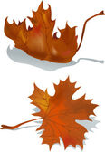 Dried maple leaf — Stock Vector