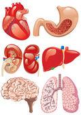 Inwendige organen set — Stockvector