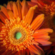 Closeup of orange gerbera daisy heads on black background - Stock Photo