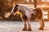 Winter sun on a skewbald heavy horse — Stock Photo