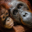 Infant orangutan with mother - Stockfoto