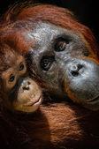 Infant orangutan with mother — Stock Photo