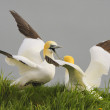 Two Northern Gannets (Morus bassanus) fighting over nesting territory during the breeding season. — Stock Photo