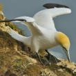 Northern Gannet (Morus bassanus) gathering grass for nest-building. — Stock Photo