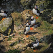Stock Photo: Five Atlantic Puffins (Fratercula arctica) on a cliff ledge