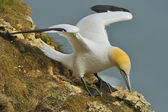 Northern Gannet (Morus bassanus) gathering grass for nest-building. — Stock fotografie