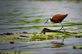 African Jacana on Lilypads — Stock Photo
