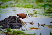 African Jacana in Mabamba Swamp — Stock Photo