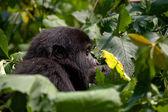 Mountain Gorilla Profile — Stock Photo