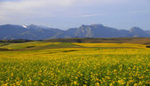 Canola field in the Overberg — Stock Photo