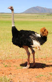 Ostriches in the Klein Karoo, South Africa — Stock Photo