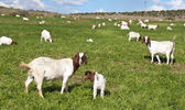Goat farming in the Karoo, South Africa — Stock Photo