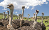 Ostriches in South Africa — Stock Photo