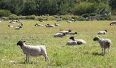 Sheep farming — Stock Photo
