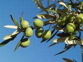 Green olives on a branch. — Stock Photo