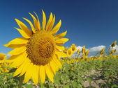 Sunflower. — Stock Photo