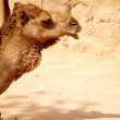 Stock Photo: Dromedary Camel (Camelus Dromedarius)