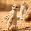 Suricata - Meerkat — Stock Photo
