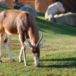 Blesbok  (Damaliscus pygargus phillipsi) — Stock Photo