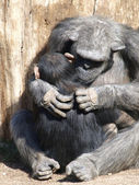 Chimpanzee - Ape — Stock Photo