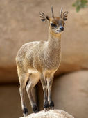 Klipspringer (Oreotragus oreotragus) — Stock Photo