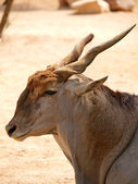 Common eland (Taurotragus Oryx) — Stock Photo