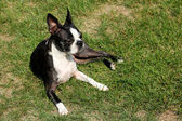 Boston Terrier Laying In Yard — Stock Photo