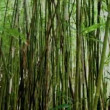 Pan of Bamboo Forest - Stock Photo