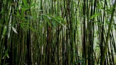 Pan of Bamboo Forest — Stock Video