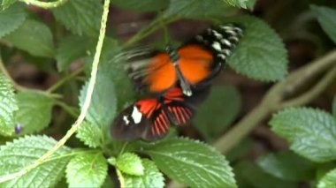 Butterfly at the Key West Butterfly conservatory — Stock Video