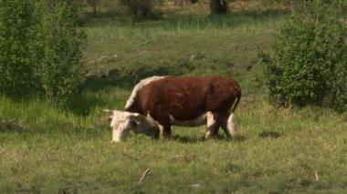 Lapso de tiempo de vaca — Vídeo de stock