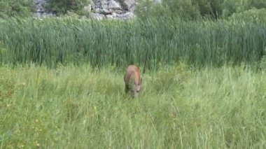 Deer Eating Grass — Stock Video