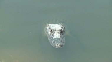 Alligator in the everglades — Stock Video