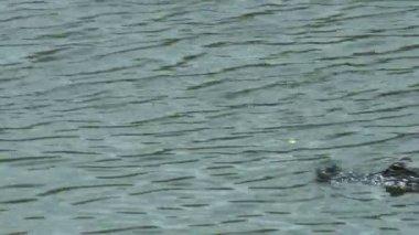 Alligatore nelle everglades — Video Stock