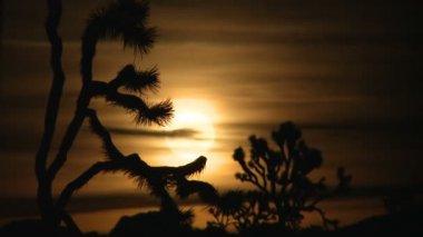 Golden Full Moon Rising Behind Joshua Tree - Time Lapse — Stock Video