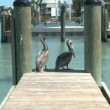 Pelicans on a Dock - Time Lapse - Stock Photo