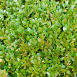 Boxwood background — Stock Photo
