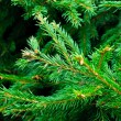Fir branches — Stock Photo #13739895