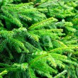 Fir branches — Stock Photo #13739903