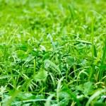 Green grass — Stock Photo #13739907