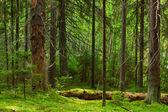 Fairy pinewood — Stock Photo