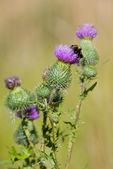 Bee on a thistle — Stock Photo